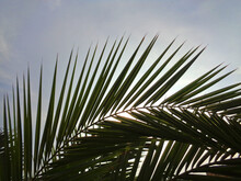 Leaves Of A Palm Tree Backlit