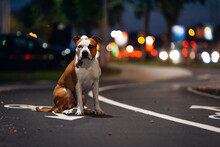 Amstaff Dog Is Sitting At The ...