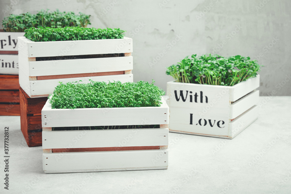 Fototapeta Microgreens in white wooden boxes. Concept of home gardening and growing greenery indoors