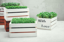 Microgreens In White Wooden Bo...
