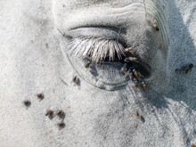White Arab  Horse Head With Lo...