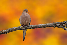 A Mourning Dove With Fall Colo...
