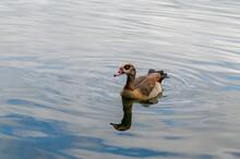 Egyptian Goose, Alopochen Aegy...