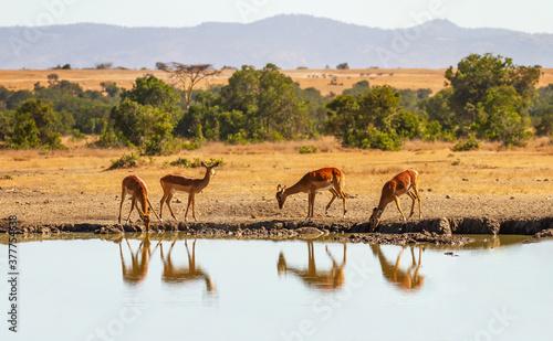 Fototapeta Impala group (Aepyceros melampus) reflected in water as they drink from watering hole in Ol Pejeta Conservancy, Kenya, Africa