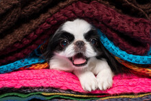 Japanese Chin Looking At Camer...