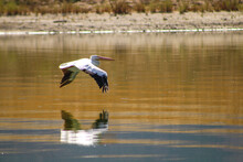 A White And Black Pelican In Flight Over The Waters Of Lake Elsinore In Lake Elsinore California With Gorgeous Reflections Off The Lake Water