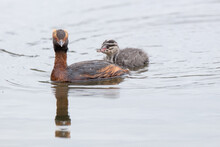 Grebe Adult And Chick ,wildlife In Iceland