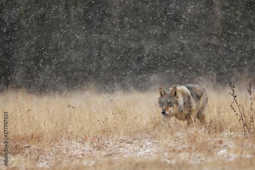 Cuadros en Lienzo Wolf from Finland