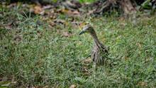 Black Crowned Night Heron Of T...