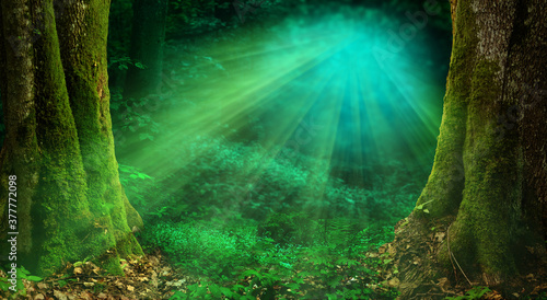 Fotografia Sunlight in forest Magical woods landscape, old thick mossy trees, rays of light
