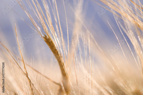 Fotografie, Obraz rye spikelets in sunny and windy field