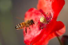 A Honeybee Collects Pollen Fro...