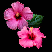 Close Up Of Two Pink Hibiscus Flowers, Hibiscus Rosa-sinensis Also Known As Chinese Hibiscus. Isolated On Black Background.