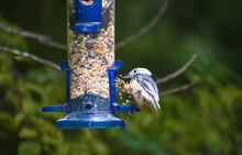 White-Breasted Nuthatch Bird On Feeder Eating Seeds In Forest
