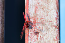 Red-Veined Dropwing Dragonfly On Painted Beam (Trithemis Arteriosa), Groot Marico, South Africa