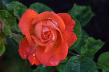 Bahia Orange Rosebud