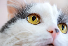 Yellow Surprised Eyes Of A White Fluffy Cat. Angle From The Bottom Up