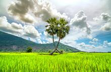 Sugar Palms Tree In A Rice Fie...