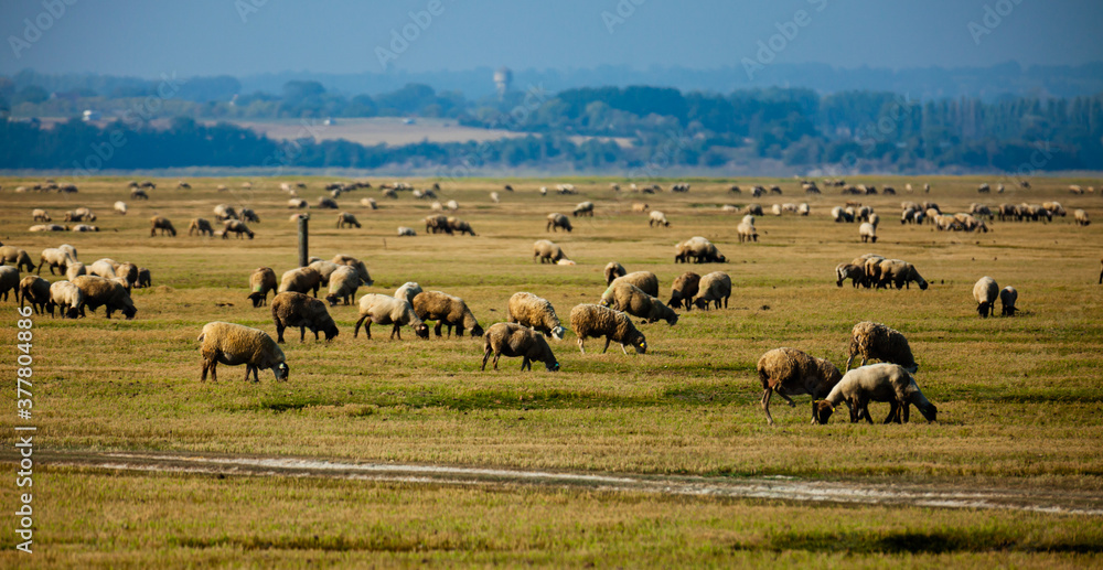 Fototapeta Sheep grazing on green meadows of Normandy, France
