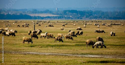 Fototapeta Sheep grazing on green meadows of Normandy, France