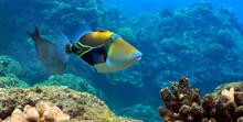 Picasso Triggerfish At Black Rock, Kaanapali, Maui.