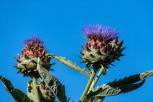 Purple Blooming Flower Of Artichoke Thistle Against A Blue Sky