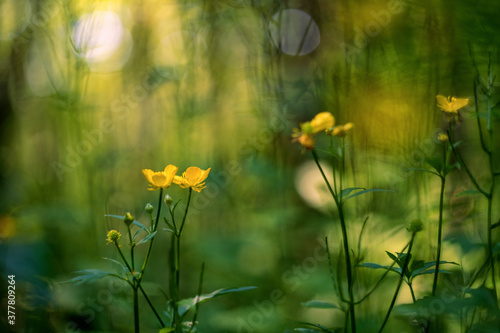 Ranunculus acris (meadow buttercup, tall buttercup, common buttercup and giant b Wallpaper Mural