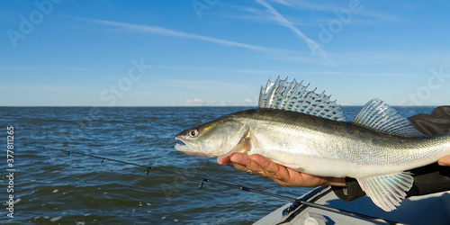 Fisherman holds a caught zander or pike perch in hands against the background of the Baltic sea Canvas Print