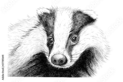 Photographie Hand drawn badger portrait, sketch graphics monochrome illustration