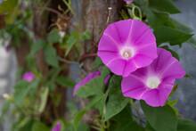 フェンスに絡んだピンクのアサガオ/Ipomoea Nil