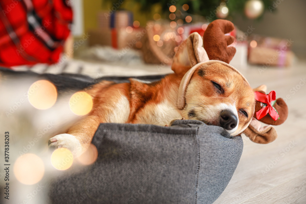 Fototapeta Cute dog in pet bed at home on Christmas eve