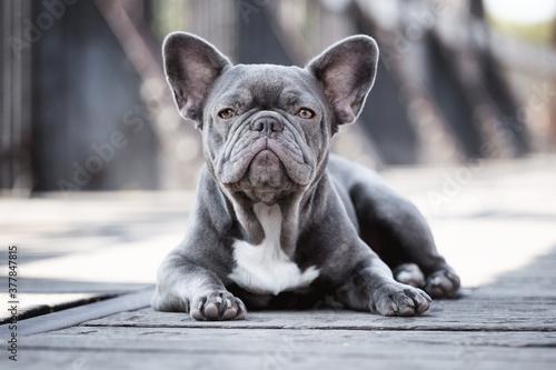 Obraz Französische Bulldogge - fototapety do salonu