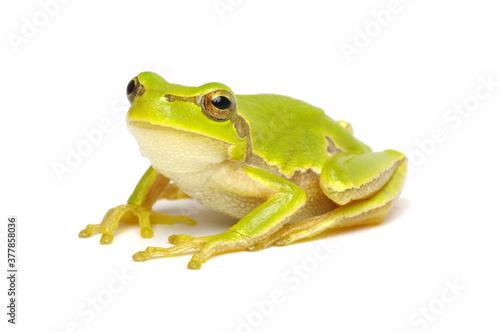 Fototapeta Green tree frog isolated on white
