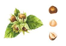 Hazelnut Branch Watercolor Set...