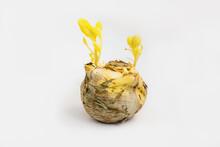 Rotting Head Of Cabbage Sprouted With Flowers White Background Isolated