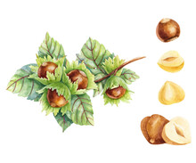 Hazelnut Branch Watercolor Illustration With Seeds On White Background