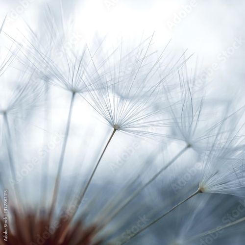 Fototapety, obrazy: dandelion seed in the nature in summer season,  white and abstract background