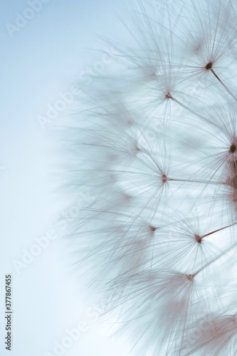 Fotografia dandelion seed in the nature in summer season,  white and abstract background