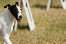 Smooth Fox Terrier Show Dog