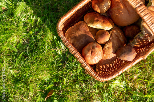 Basket of wild mushrooms freshly picked from the local forest Canvas Print