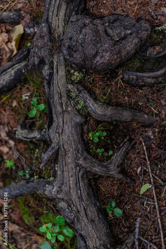 Foto brown twisty tangled roots of tree in forest in damp ground with yellow dry autu