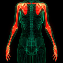 Human Skeleton System Upper Li...