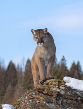 Cougar Or Mountain Lion (Puma Concolor) Standing On Top Of A Mountain In Winter