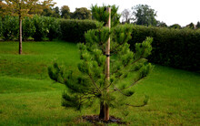 Pine Is Used As A Substitute Forest Tree For Dry, Warm, Calcareous Habitats. It Is Also Planted As A Reclamation Tree In Industrially Endangered And Polluted Areas. In Horticulture, It Is Used