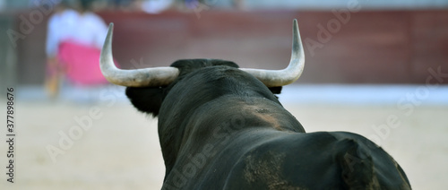 Fotografie, Tablou bull with big horns on the spanish bullring