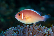 Pink Anemonefish - Amphiprion ...