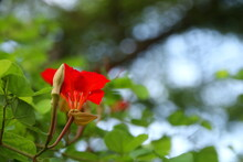Red Flower Of Red Bauhinia Or Nasturtium Bauhinia Blooming On Branch And Blur Background. Popular Name In Africa Is Pride Of De Kaap. Another Name Is Red Orchid Bush, African Plume.