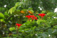 Red Flower Of Red Bauhinia Or Nasturtium Bauhinia Blooming On Branch And Blur Green Leaves Background. Popular Name In Africa Is Pride Of De Kaap. Another Name Is Red Orchid Bush, African Plume.