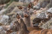 Japanese Sika Deer, Wandering The Lebanese Wilderness.