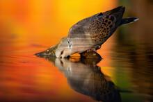 European Turtle Dove, Streptop...
